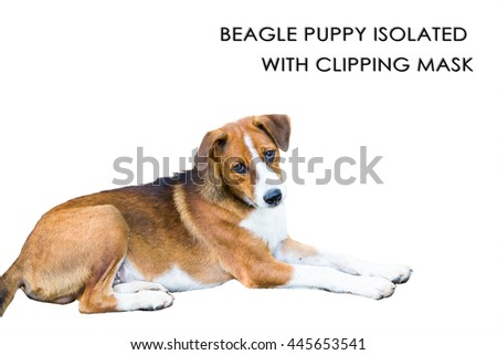 Beagle puppy isolated with clipping mask