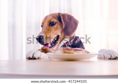 Beagle puppy looking  to roasted chicken leg  on  white plate.