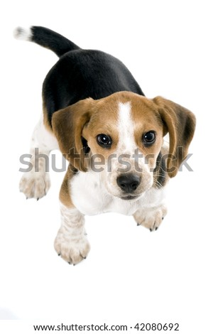 Beagle puppy looking up - stock photo