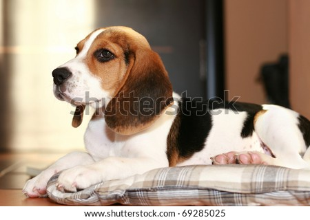 Beagle puppy lying in home on a bed - stock photo