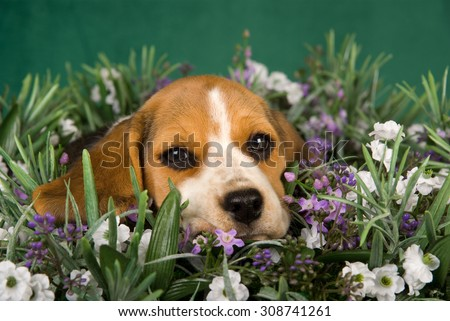 Beagle puppy lying in lavender field