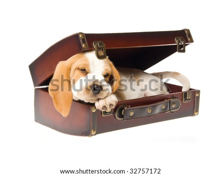 Beagle puppy lying inside brown suitcase, on white background