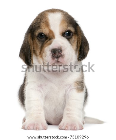Beagle Puppy, 1 month old, sitting in front of white background - stock photo