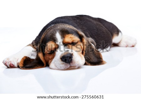 Beagle Puppy, 1 month old,  sleeping in front of white background  - stock photo