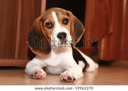 Beagle puppy (2 months) - stock photo