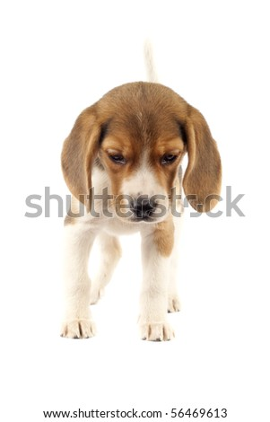 Beagle puppy (3 months) in front of white background - stock photo