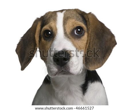 Beagle puppy, 4 months old, in front of white background - stock photo