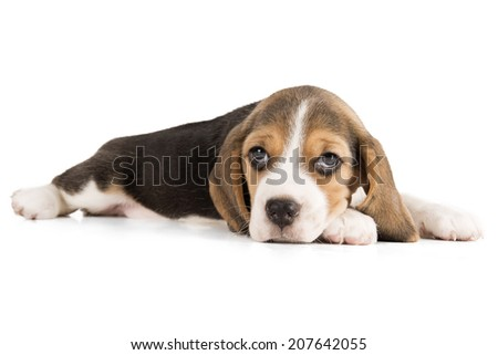 Beagle puppy on a white background in studio - stock photo