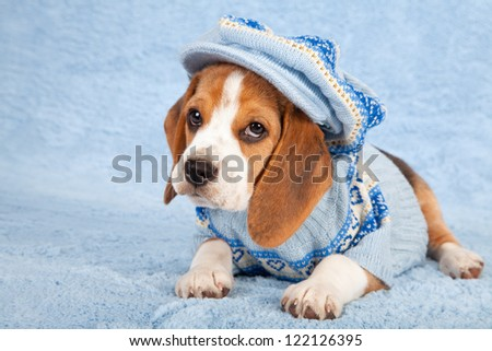Beagle puppy on blue background wearing blue knitted jersey and large cap hat - stock photo
