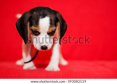 Beagle puppy on red background - stock photo