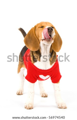 Beagle puppy on white background wearing sweater, licking lips - stock photo
