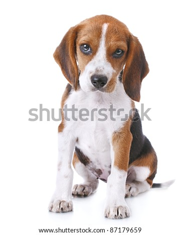beagle puppy over white background - stock photo