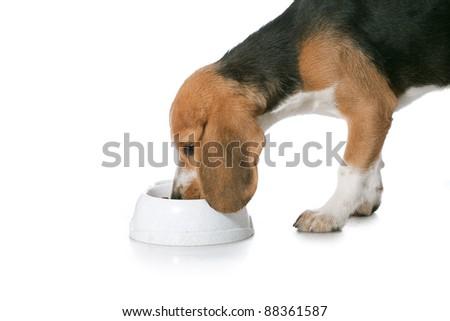 beagle puppy over white background - stock photo