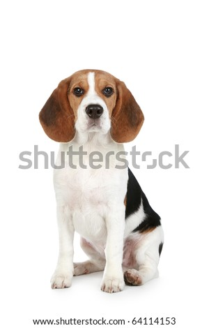 Beagle puppy portrait. Isolated on a white background - stock photo