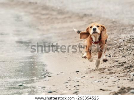 Beagle puppy running on the sea beach - stock photo