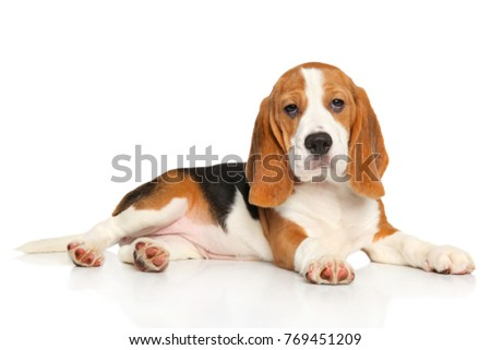 Beagle puppy sits in front of white background