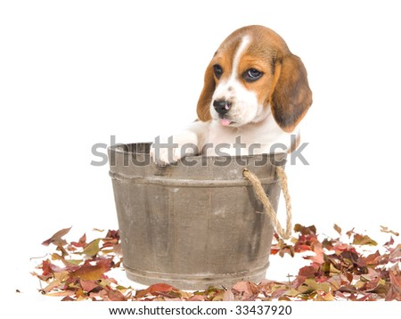 Beagle puppy sitting in wooden barrel on white background