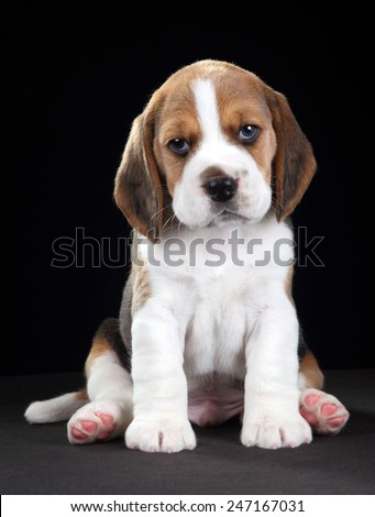Beagle puppy sitting on a black background - stock photo