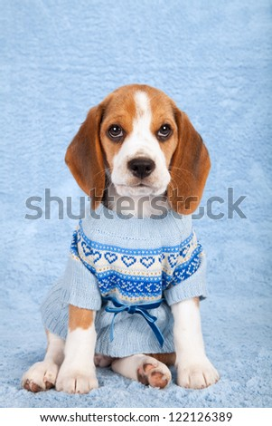 Beagle puppy sitting on blue background wearing blue knitted jersey - stock photo