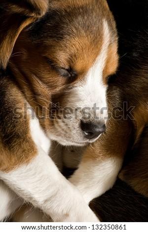 Beagle puppy sleeping - stock photo