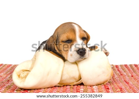 Beagle puppy sleeping on large rawhide dog bone on white background