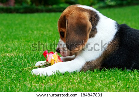 Beagle puppy smelling a rose on the green grass - stock photo