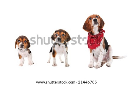 Beagle puppy stages of growth - stock photo
