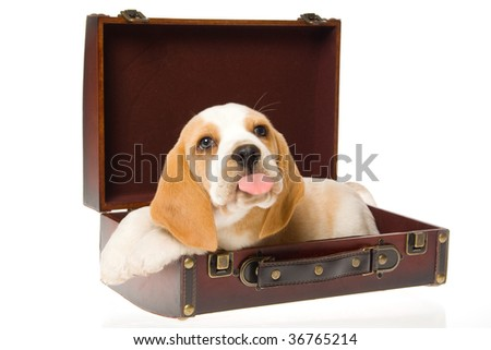 Beagle puppy sticking out tongue, in brown suitcase on white background