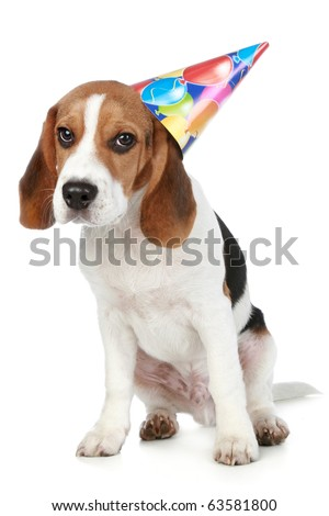 Beagle puppy  with birthday party hat on a white background - stock photo