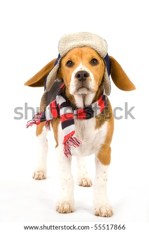 Beagle puppy with blue hat and striped scarf on white background