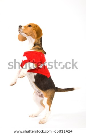 Beagle puppy with sweater standing up - stock photo