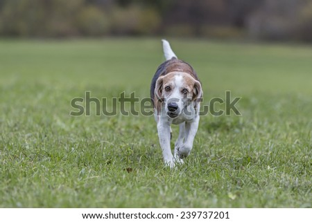 Beagle running over a green meadow