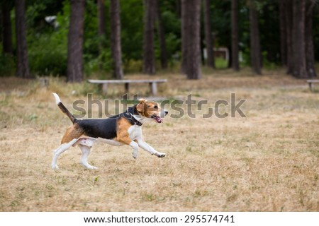 Beagle runs through the field. Grass dried up from drought and heat. - stock photo