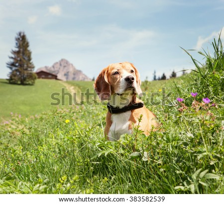Beagle sitting in high grass on the mountain meadow - stock photo