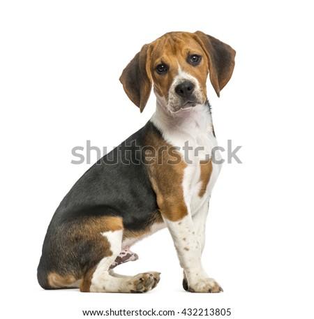 Beagle sitting, isolated on white - stock photo