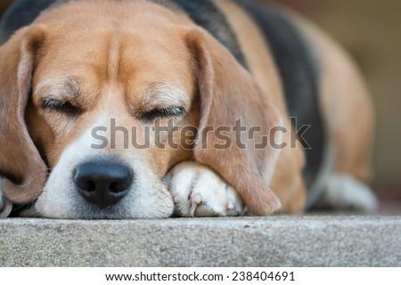 beagle sleeping on the floor - stock photo