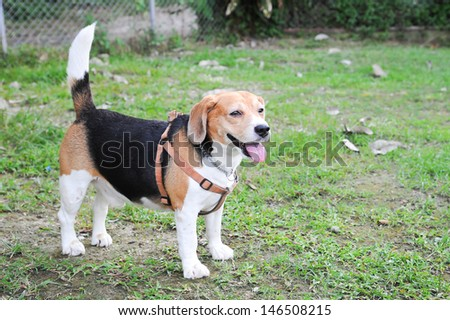 beagle standing in play yard with smiling and active action