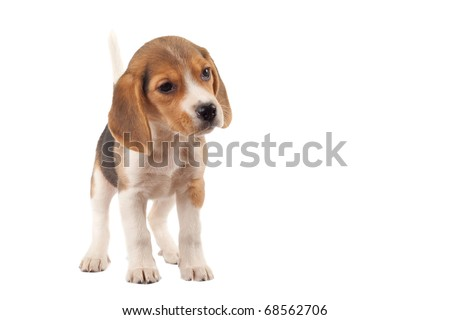 beagle standing on a white background - stock photo