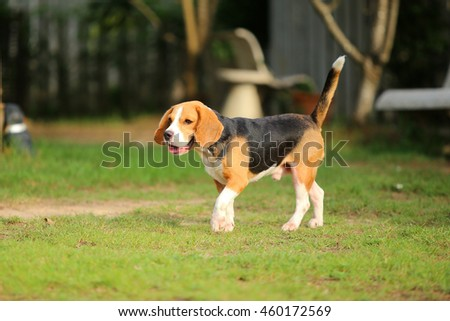Beagle walking in grass field, dog in the park