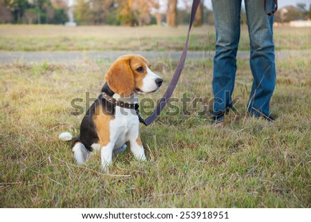 Beagle walks at the park