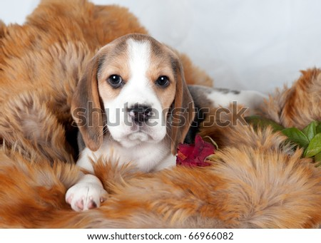 Beagle with rose - stock photo