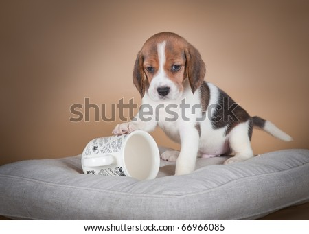 Beagle with white cup - stock photo