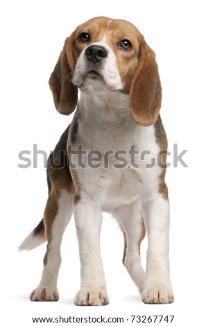 Beagle, 1 year old, standing in front of white background - stock photo