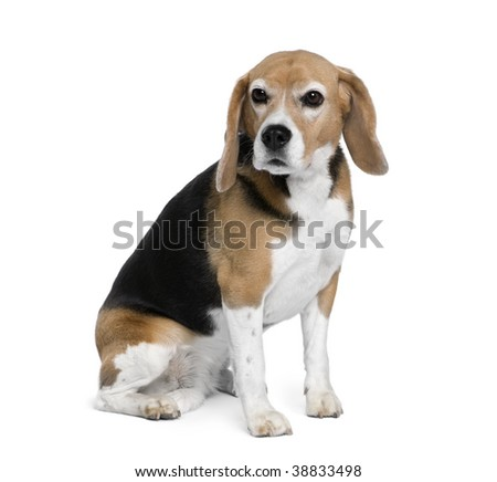 Beagle, 7 years old, sitting in front of white background, studio shot - stock photo