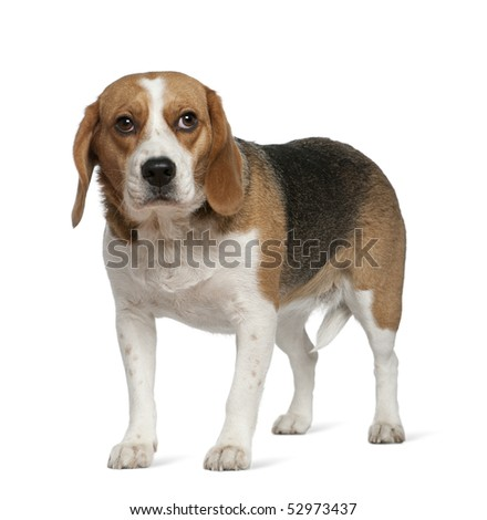 Beagle, 3 years old, standing in front of white background