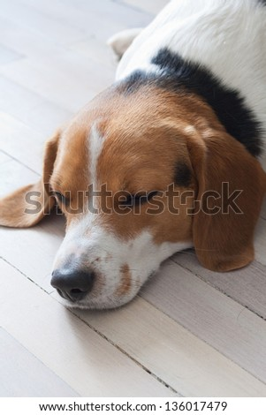 Beagles are intelligent, loyal and good-tempered creatures making them popular pets - stock photo