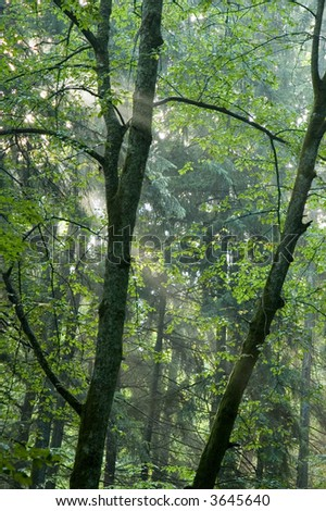 Beams of light entering hazy forest, early morning just after rain