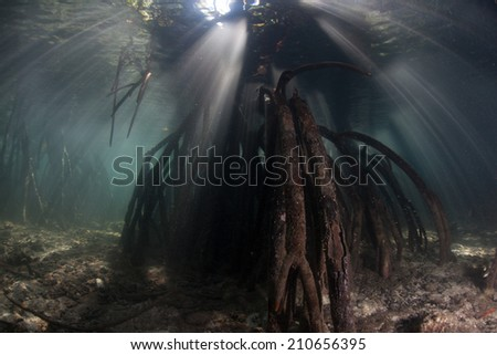 Beams of light pass down through the canopy of a mangrove forest and light specialized tree roots in the tropical  western Pacific. Mangroves are ecologically important as nurseries for marine life. - stock photo