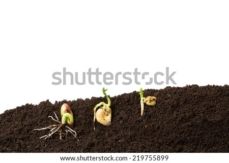 bean, fava bean and chickpeas seeds germination isolated on white - stock photo