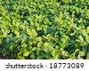 bean field - stock photo